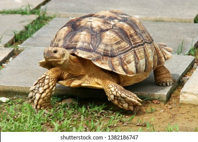 an African spurred tortoise walks on the ground April 27 2019