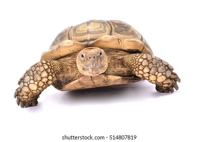 African spurred tortoise,Centrochelys sulcata