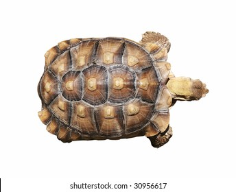 African spur-thigh tortoise with clipping path