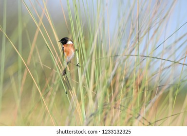 African Stonechat in Grass