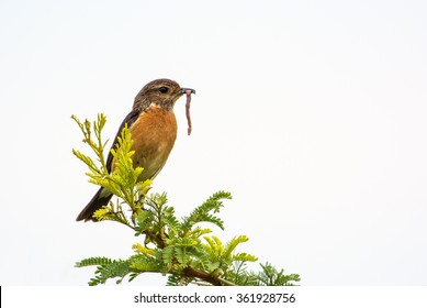 An African Stonechat on a tree with a worm in its beak