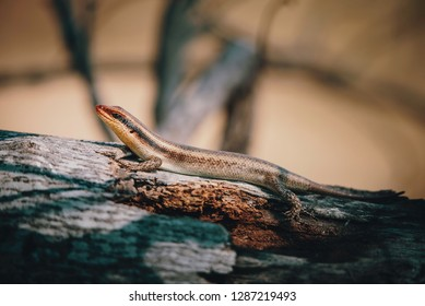 African striped skink (Trachylepis striata wahlbergi) on a tree in the Moremi National Park, Okavango Delta, Botswana