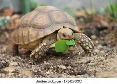 African Sulcata Tortoise Natural Habitat,Close up African spurred tortoise resting in the garden, Africa spurred tortoise sunbathe on ground with his protective shell