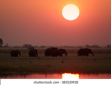 African sunset with animals. Silhouette of African elephants, Loxodonta africana   on the riverbank of Chobe river against red sun in background. African wildlife scene. Chobe national park, Botswana.