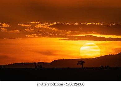 African sunset in the Marsai Mara, Kenya. Wildebeest, connochaetes taurinus, can be seen grazing on the horizon next to a lone acacia tree.