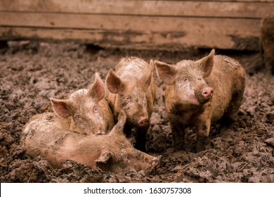 African swine fever virus, ASFV. Four pigs in the mud