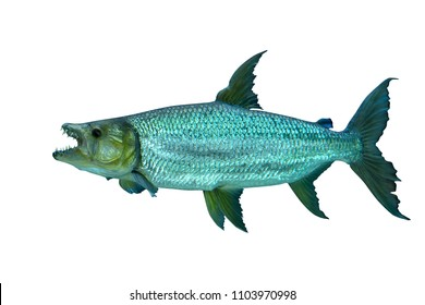 African Tiger Fish isolated on white background, selective focus. Clipping path included.
