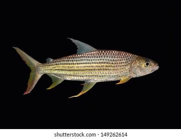 african tiger fish isolated on Black