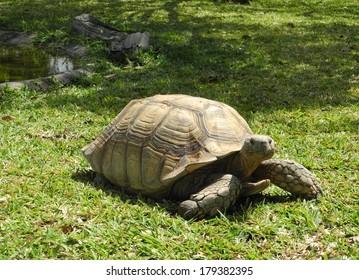 African Tortoise