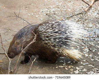 African tortrix porcupine