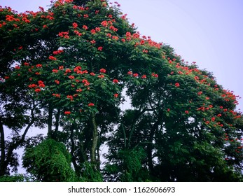 African Tulip Tree Or Flame Of The Forest At Batunya Village, Tabanan, Bali, Indonesia