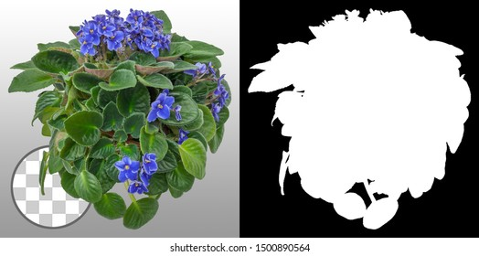 African violets flowers isolated on transparent background via an alpha channel of great precision. Very high quality mask without unwanted edge. High resolution for professional composition.