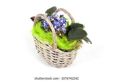 African violets in pots