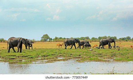 African Vista with a herd of elephants, Puku Antelopes, Baboons and crested cranes against a lush green plains and bush background, with a small river in the foreground.  South Luangwa National park