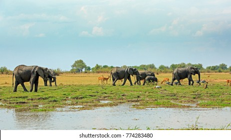 African Vista with a herd of elephants, Puku, Baboons and crested cranes against a lush green plains and bush background, with a small river in the foreground.  South Luangwa National park