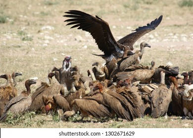 African vultures eat out a zebra
