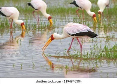 African wading stork, Yellow billed stork (Wood stork, Wood ibis) foraging for fish in water. Leaving bills open and wait to snap up their preys at Lake Manyara, Tanzania, East Africa (Mycteria ibis)