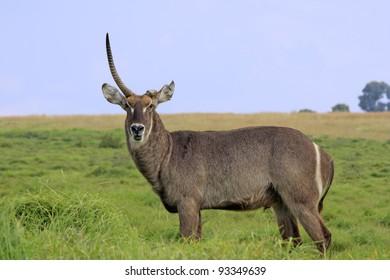 African water buck