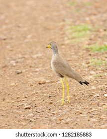 African Wattled Lapwing, also known as the Senegal wattled  plover or simply wattled lapwing