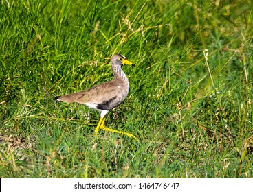 An African Wattled Lapwing is walking through the savannah grass of the Bwabwata Nationalpark at Namibia  during summer