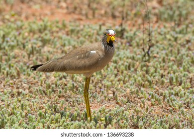 African Wattled Plover or Lapwing which has noticed me