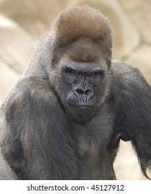 african western lowlands gorilla male silverback looking menacingly