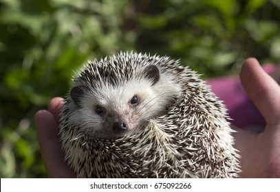 African white belly hedgehog held in hand
