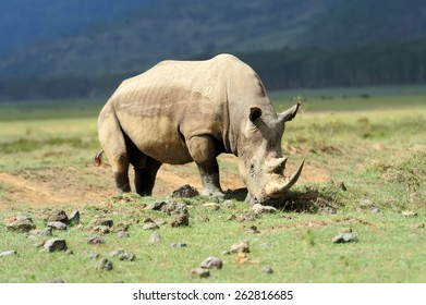 African White Rhino, Lake Nakuru, Kenya