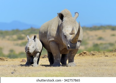 African white rhino, National park of Kenya, Africa