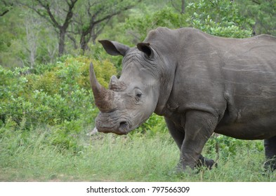 African white rhinoceros in its natural environment
