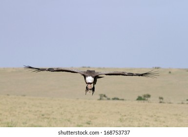 African White-backed Vulture landing on the grassland