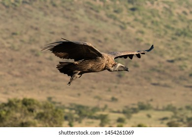African white-backed vulture soars over grassy hillside