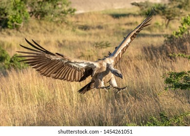 African white-backed vulture spreads wings to land