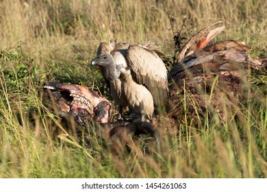 African white-backed vulture standing on buffalo carcase