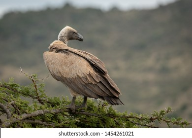 African white-backed vulture stands on thorn tree