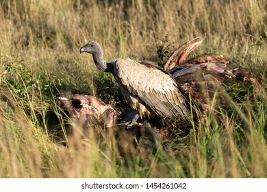 African white-backed vulture stands on buffalo carcase