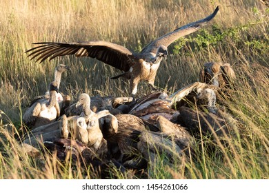 African white-backed vulture stretches wings by kill
