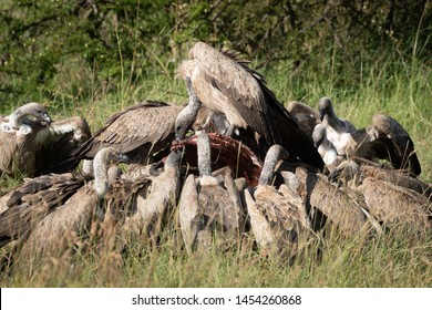 African white-backed vultures feed on buffalo carcase