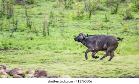 African wild buffalo in Kruger national park, South Africa ; Specie Syncerus caffer family of bovidae