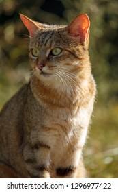 African Wild Cat, (Felis Silvestris lybica). KwaZulu Natal. South Africa