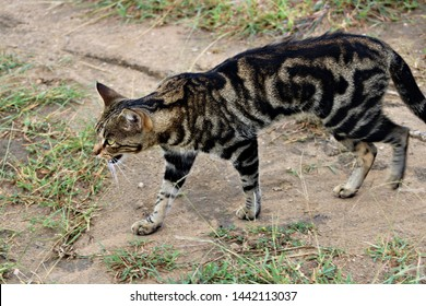 An African wild cat (Felis silvestris lybica) in a nature reserve.