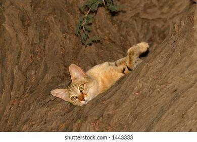 An African wild cat (Felis silvestris lybica) lying in an Acacia tree, Kalahari, South Africa