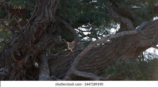 African Wild Cat ( Felis silvestris lybica ) Kgalagadi Transfrontier Park, South Africa