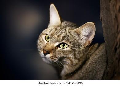 African Wild Cat - Felis silvestris lybica - Kalahari desert - South Africa