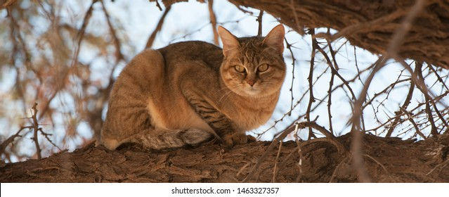 African Wild Cat ( Felis silvestris lybica ) Kgalagadi Transfrontier Park, South Africa