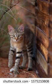 African Wild Cat (Felis silvestris lybica), Kieliekrankie Wilderness Camp, Kgalagadi Transfrontier Park, Kalahri desert, South Africa.