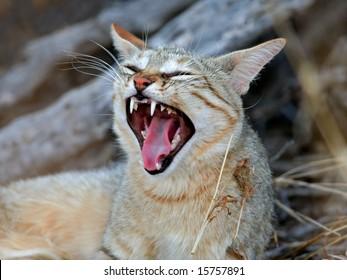 An African wild cat (Felis silvestris lybica) yawning, Kalahari desert, South Africa
