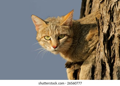 An African wild cat (Felis silvestris lybica) lying in a tree