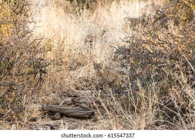 African wild cat (Felis silvestris lybica), Africa, Botswana, Tuli Block