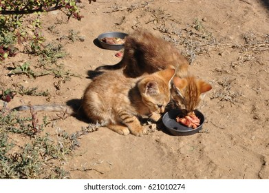 African wild cat kittens, eating from each other plates